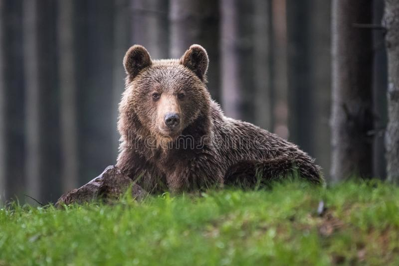 A brown bear in the forest. Big Brown Bear. Bear sits on a rock. Ursus arctos. Close up wild, big Brown Bear, Ursus arctos, male on the bank of lake, staring stock images