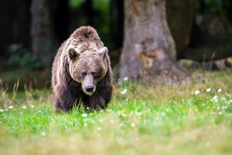 Dangerous brown bear stock photos