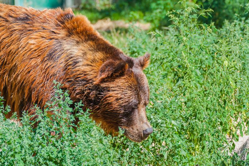Brown  bear in the forest royalty free stock photography