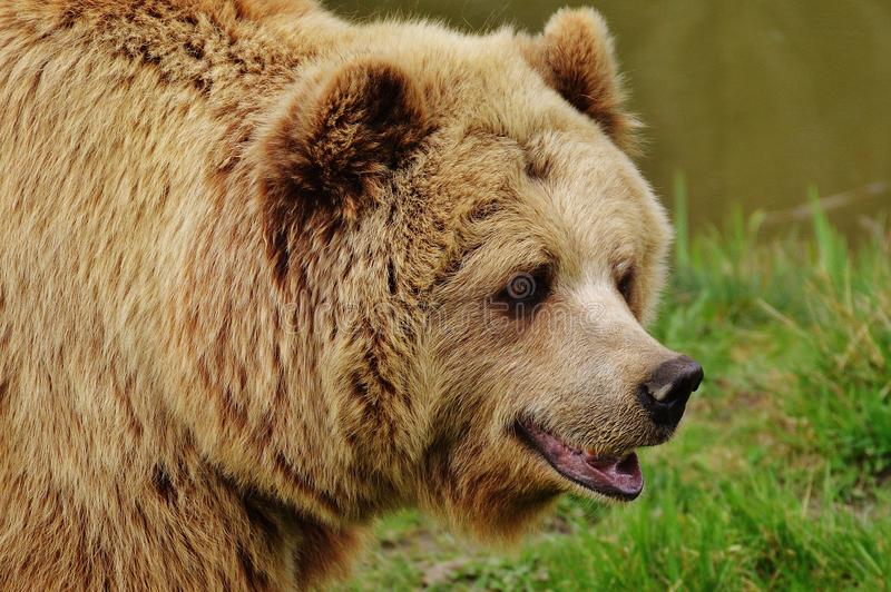 Brown Bear, Grizzly Bear, Terrestrial Animal, Mammal stock image