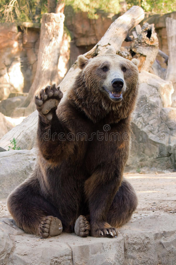 Free Brown Bear Hello Stock Images - 31862064