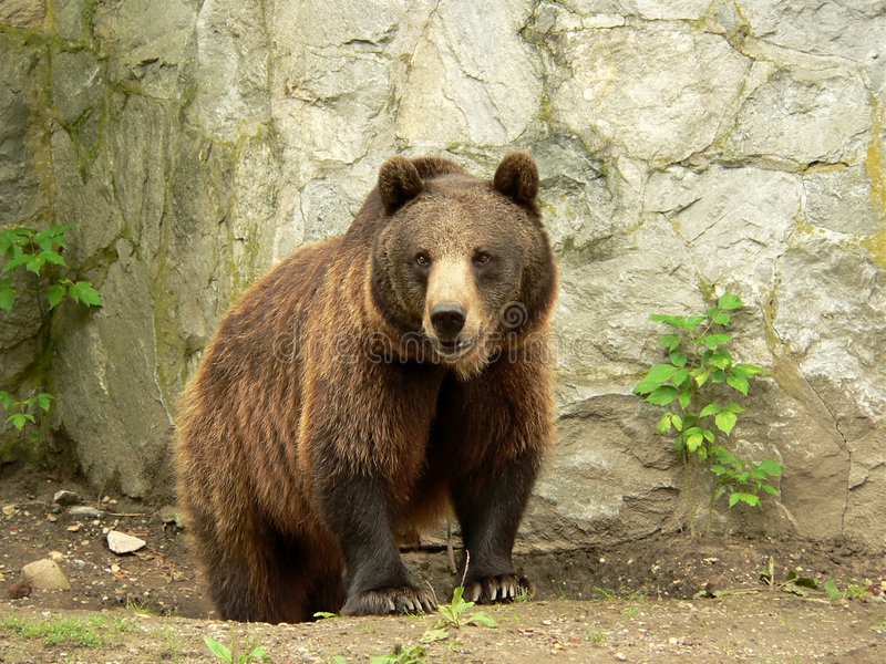 Brown bear looking. At visitors in the zoo Who do I want to eat today stock photos