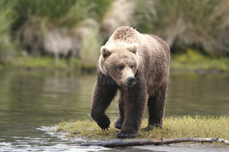 Brown bear looking for food royalty free stock images
