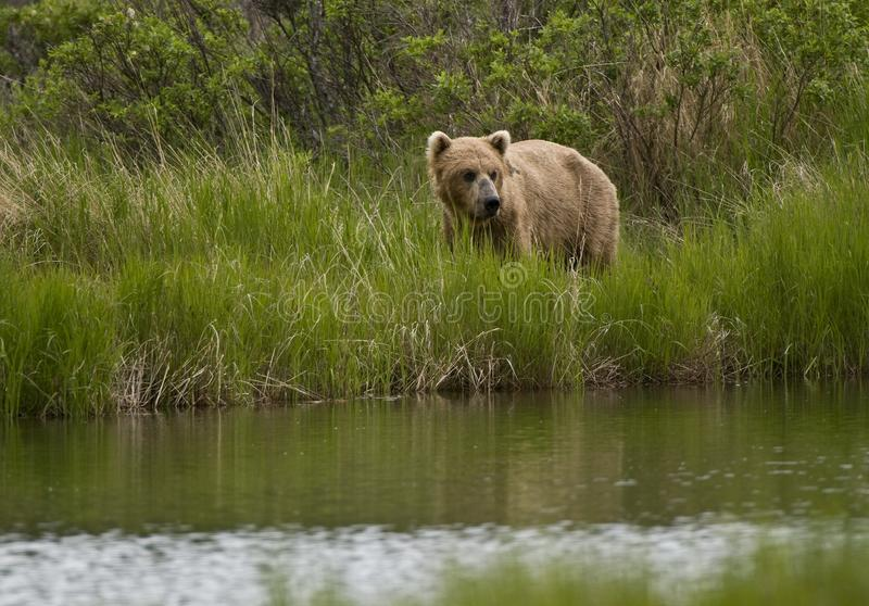 Brown bear looking for salmon in Brooks River royalty free stock photo