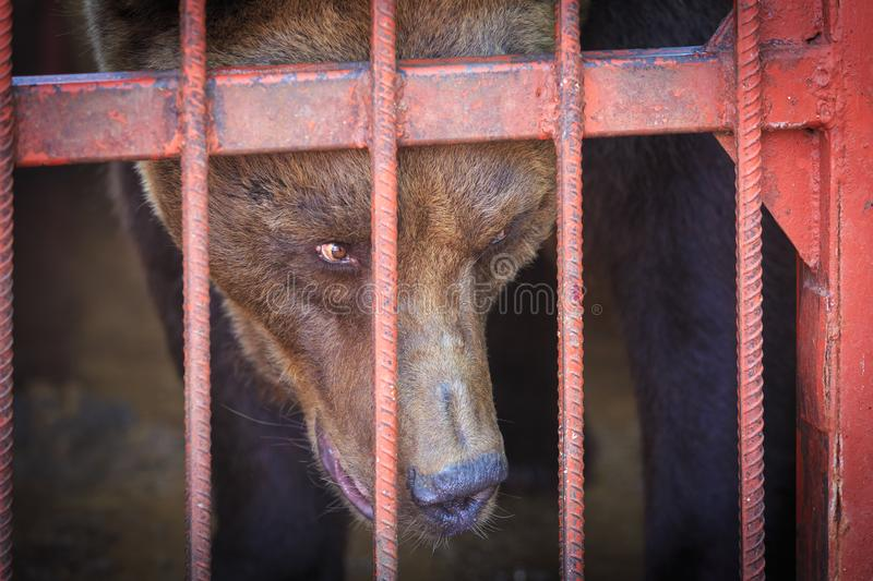 The brown bear looks askance at somebody from the cage.  royalty free stock image
