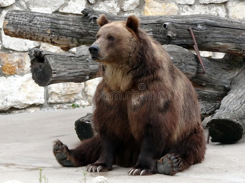 Brown bear. Looks attentively at tourists royalty free stock photos