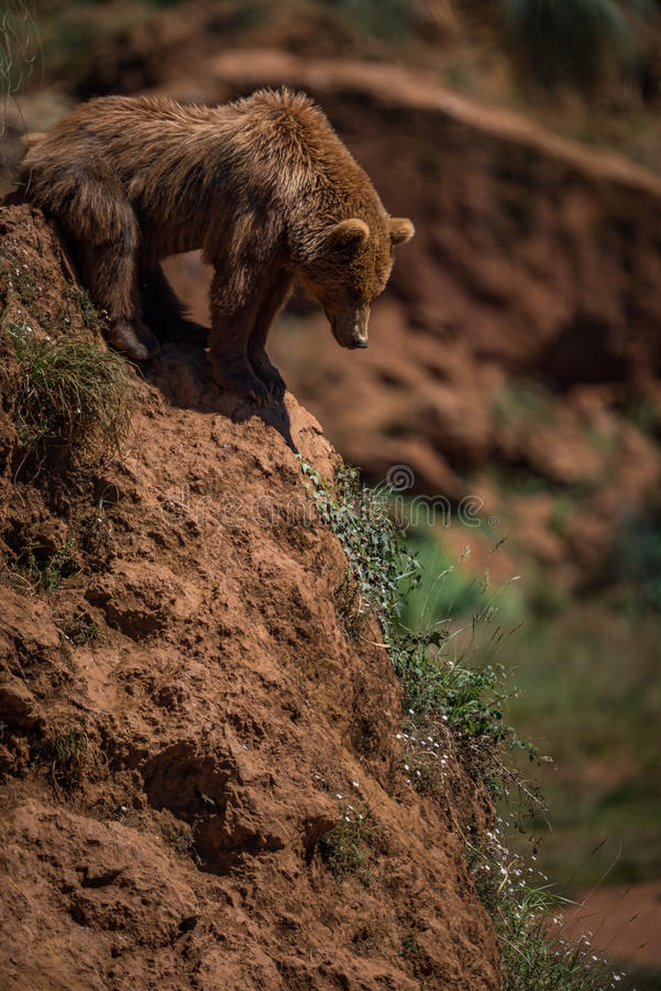 Brown bear looks down red rocky slope royalty free stock photo