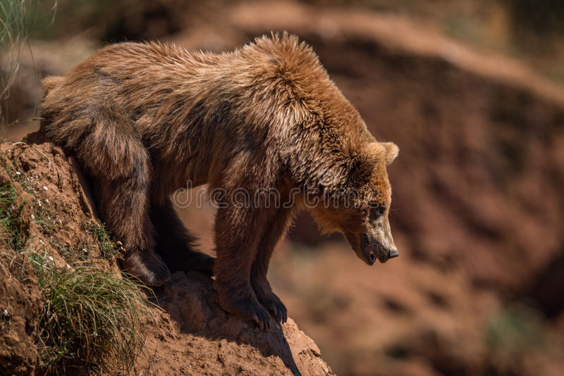 Brown bear looks down steep rocky slope stock images