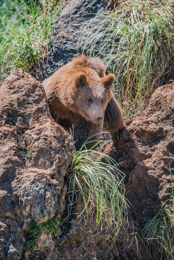 Brown bear looks through gully between rocks royalty free stock images