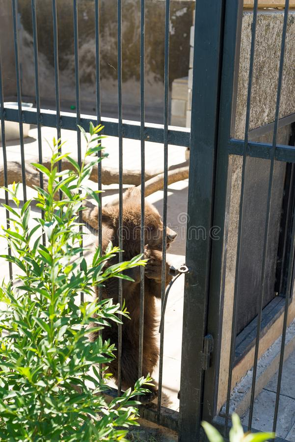 A brown bear looks at the visitors of the zoo through an iron grating. A brown bear looks at the visitors of the zoo through an iron grating royalty free stock photo