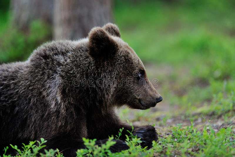 Brown Bear Lying Royalty Free Stock Photography