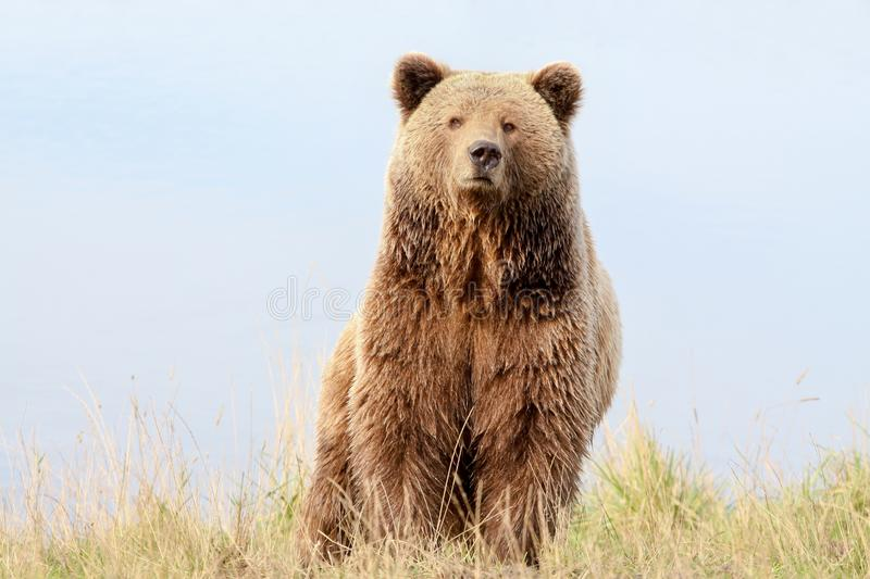 Brown bear in the nature royalty free stock photography