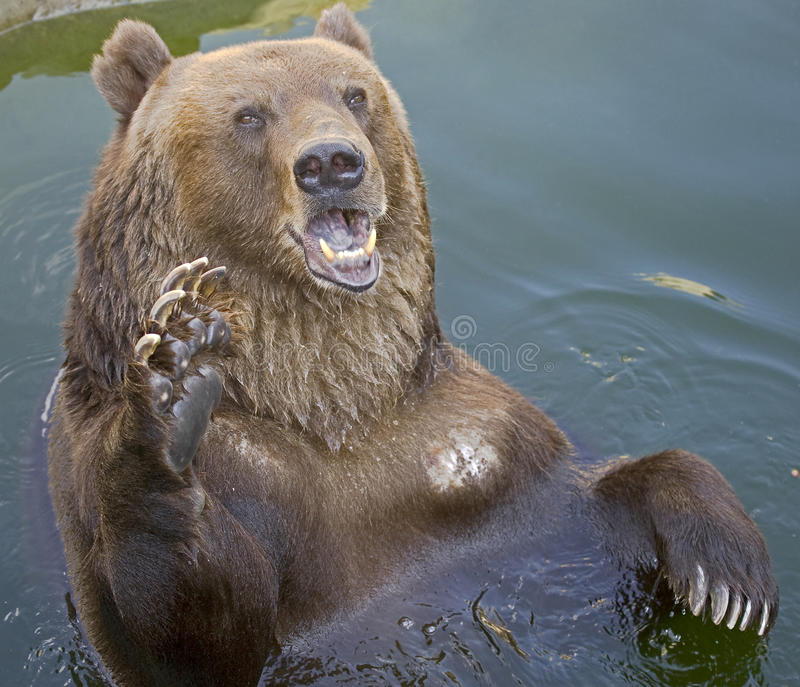 Brown bear in the pond 2 stock images