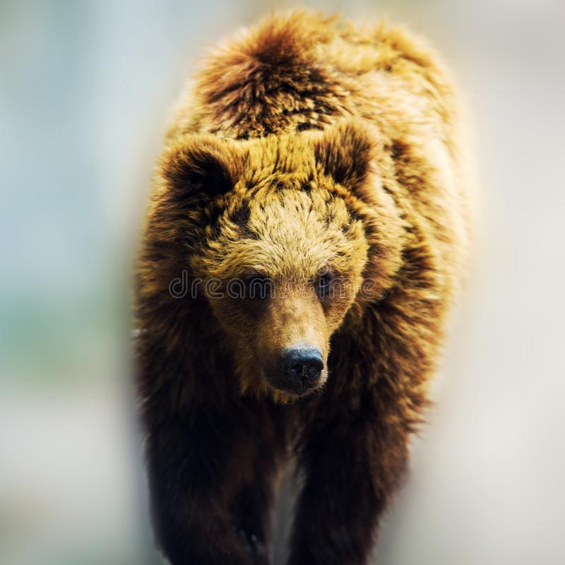 Brown bear portrait stock image