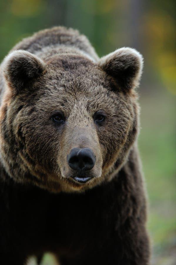 Free Brown Bear Portrait Royalty Free Stock Photo - 28277595