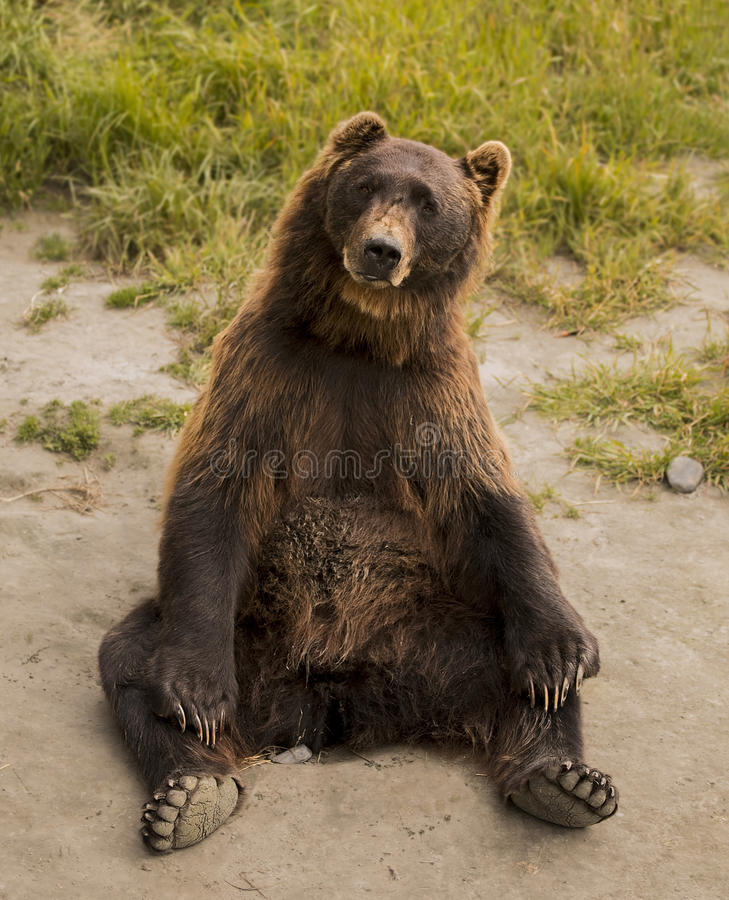 Brown Bear Practicing Yoga. This cute brown bear appears to be in a comfortable yoga position. He resides in the Alaska Wildlife Conservation Center in Portage stock photography