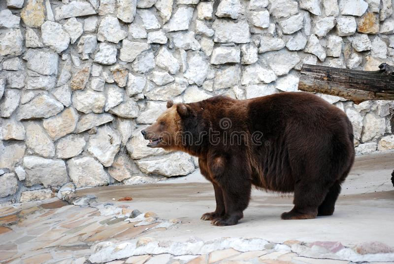 Brown bear. Predatory mammal of family bear, one of the largest land predators. Moscow Zoo. Russia royalty free stock photography