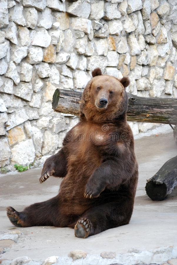 Brown bear. Predatory mammal of family bear, one of the largest land predators. Moscow Zoo. Russia stock photography