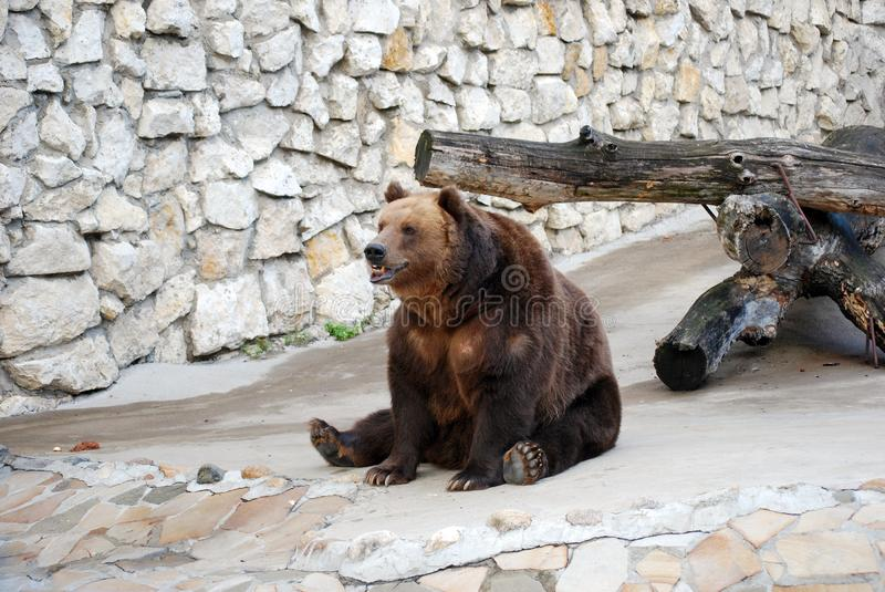 Brown bear. Predatory mammal of family bear, one of the largest land predators. Moscow Zoo. Russia stock images
