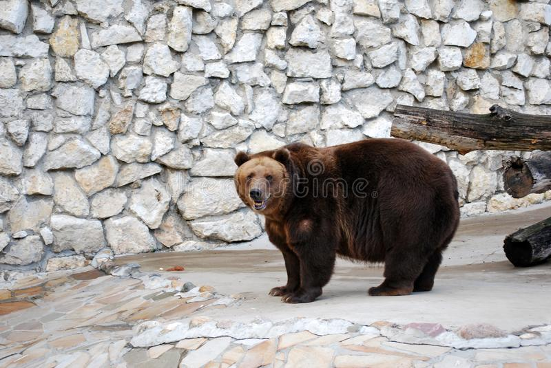 Brown bear. Predatory mammal of family bear, one of the largest land predators. Moscow Zoo. Russia stock image