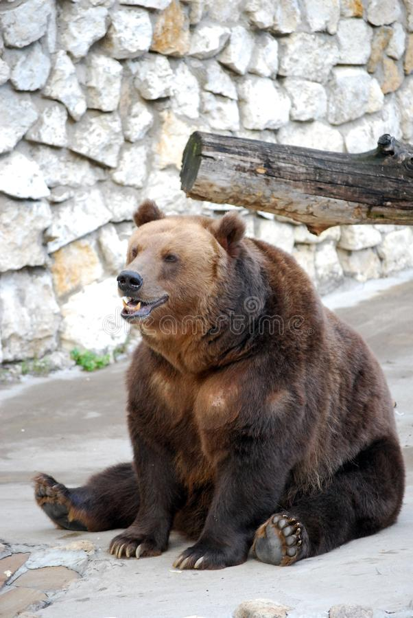 Brown bear. Predatory mammal of family bear, one of the largest land predators. Moscow Zoo. Russia stock photos