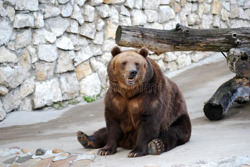 Brown bear. Predatory mammal of family bear, one of the largest land predators. Moscow Zoo. Russia royalty free stock image