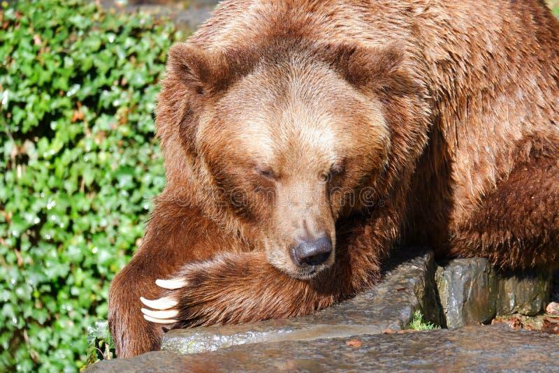 Brown bear resting on rocks closeup. Brown animal bear Belgium european wildlife resting lying on rocks stock image