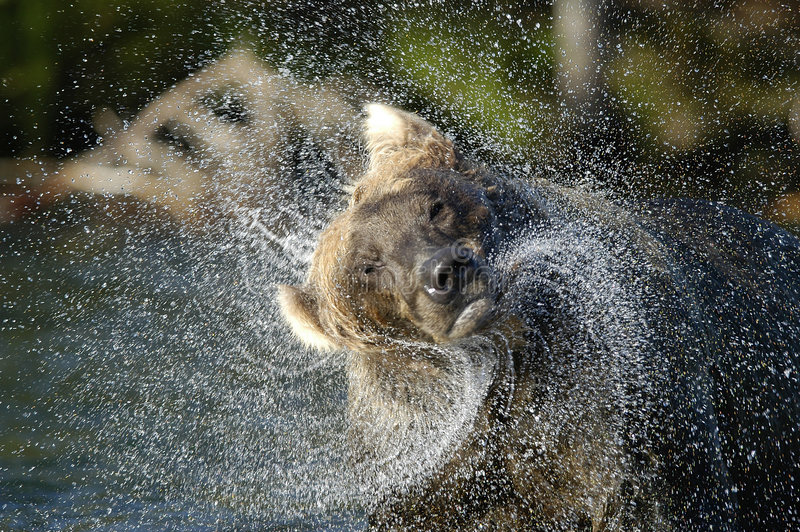 Brown bear in river and water spraying royalty free stock photo