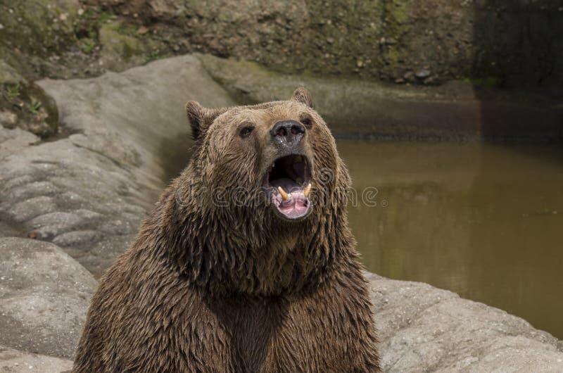 Brown bear roar stock photos
