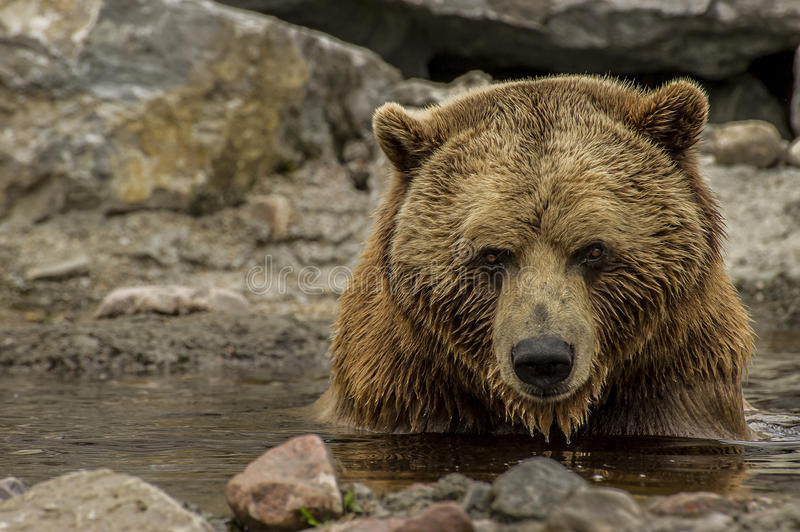 Brown bear`s relaxing time stock images