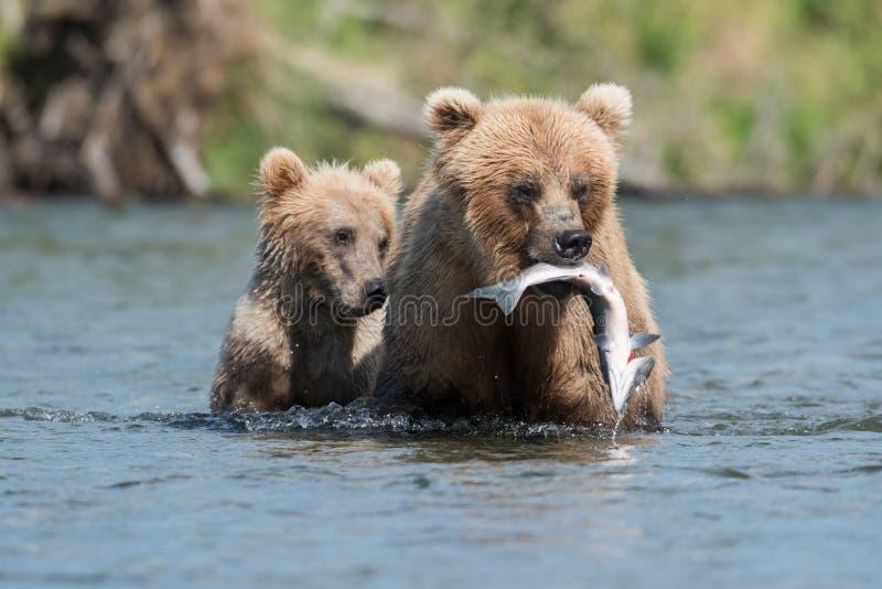 Brown bear with salmon stock image