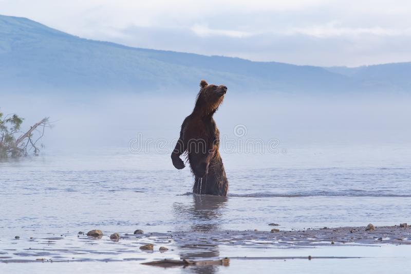 Brown bear scouting and sniffing for salmon hunt stock photos