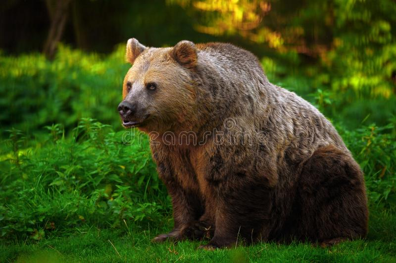 Brown bear. Side portrait of brown bear in countryside royalty free stock photography