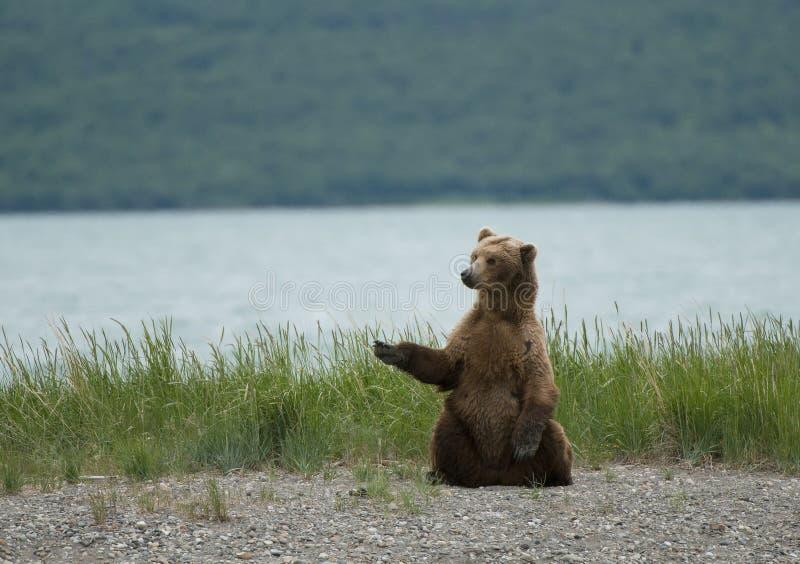 Brown bear sitting on the beach