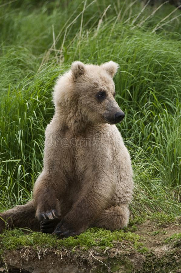 Brown Bear sitting on river bank royalty free stock images