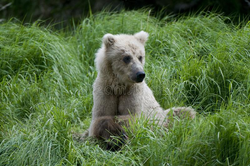 Brown Bear sitting on river bank stock photography