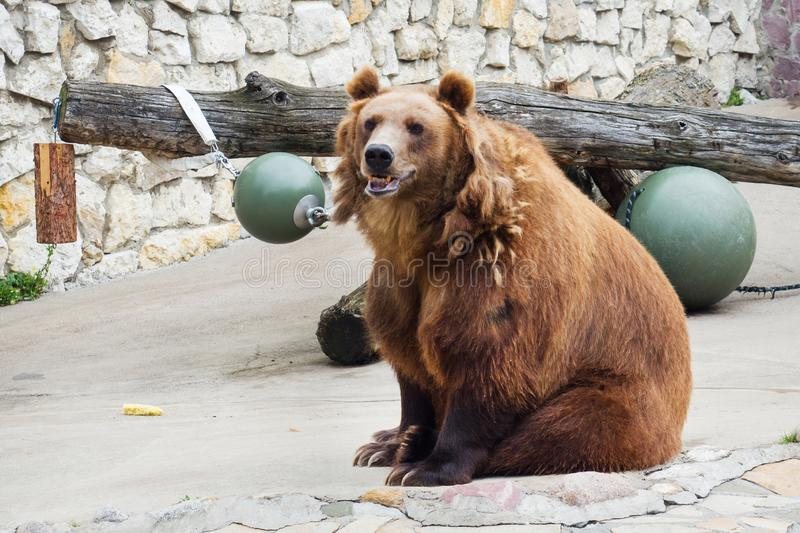 Brown bear sitting on a rock zoo Moscow Russia stock photo