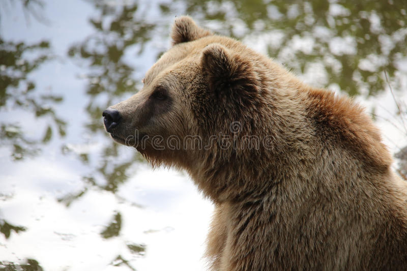 Brown bear sitting by the water, looks thoughtful. Nature stock images