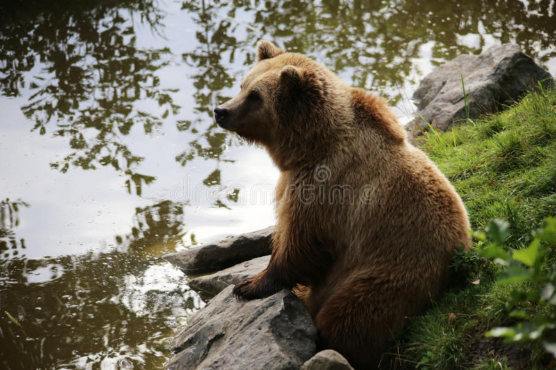 Brown bear sitting by the water, looks thoughtful. Nature stock photography