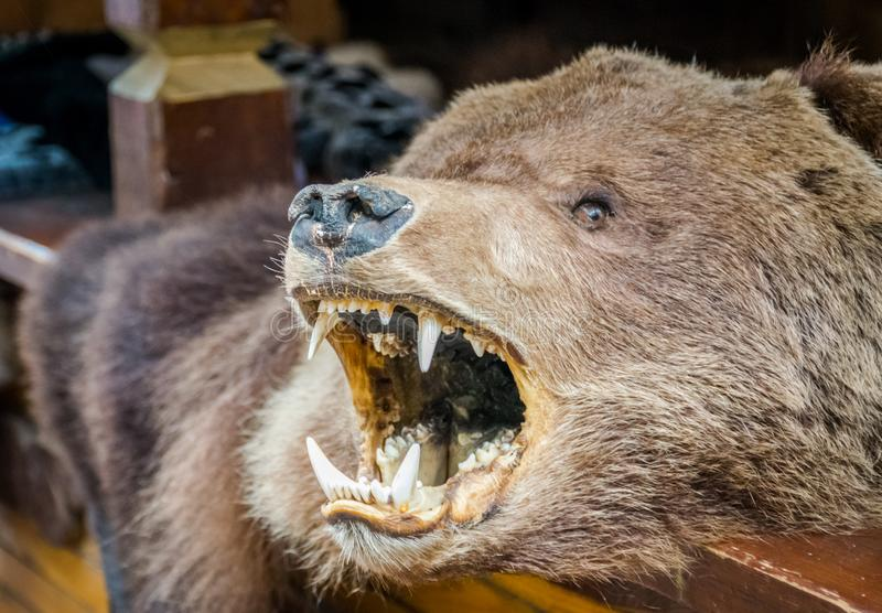 The brown bear skin rug with its` head. stock photography