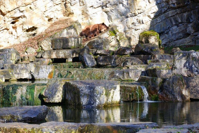 Brown bear sleeping on rocks landscape at lake. Belgium european mammal wildlife scenic royalty free stock photography