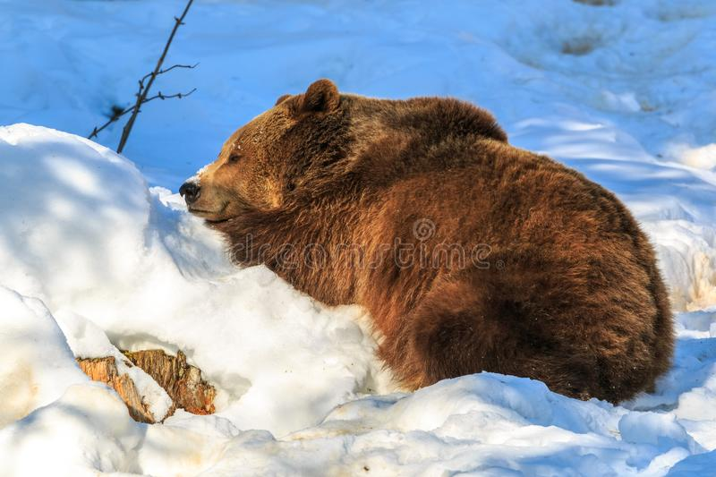 Brown bear sleeping on the snow royalty free stock photography