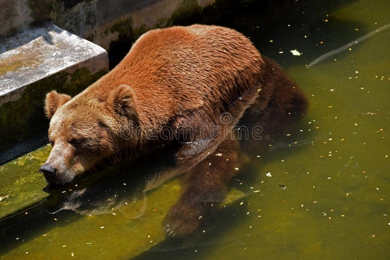 Brown bear. Sleeping in water to reduce the hotness of the sun