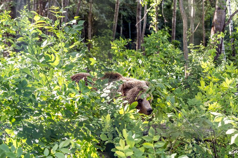 Brown bear sneaks through the thickets of the forest and looks out carefully. From the foliage stock images