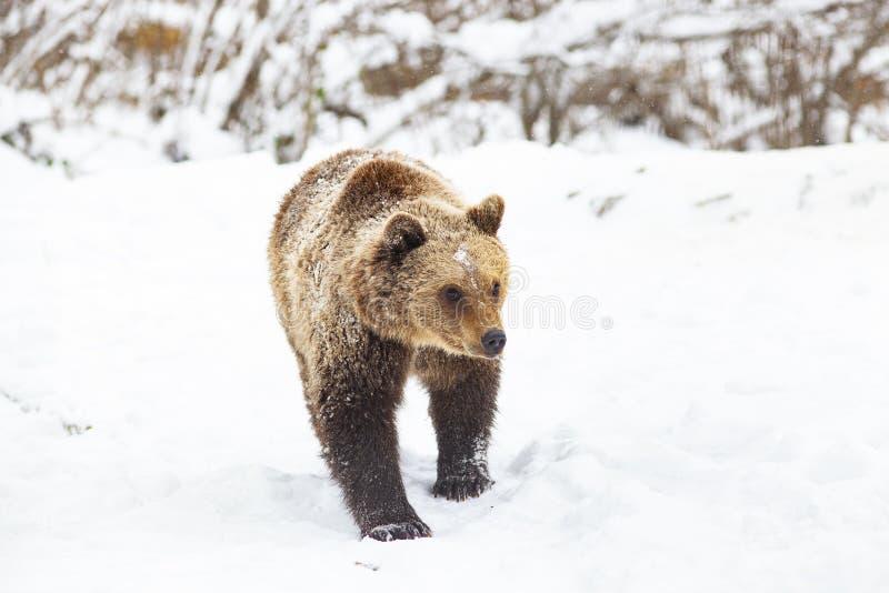 brown bear in snow stock photo