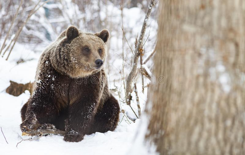brown bear in snow royalty free stock photo
