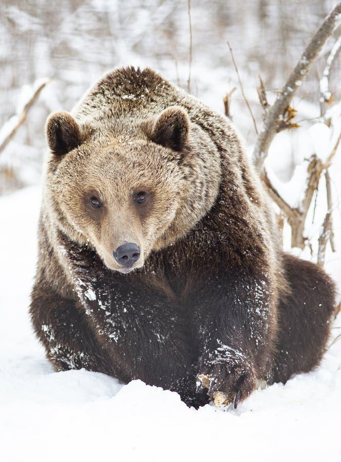 brown bear in snow stock photos