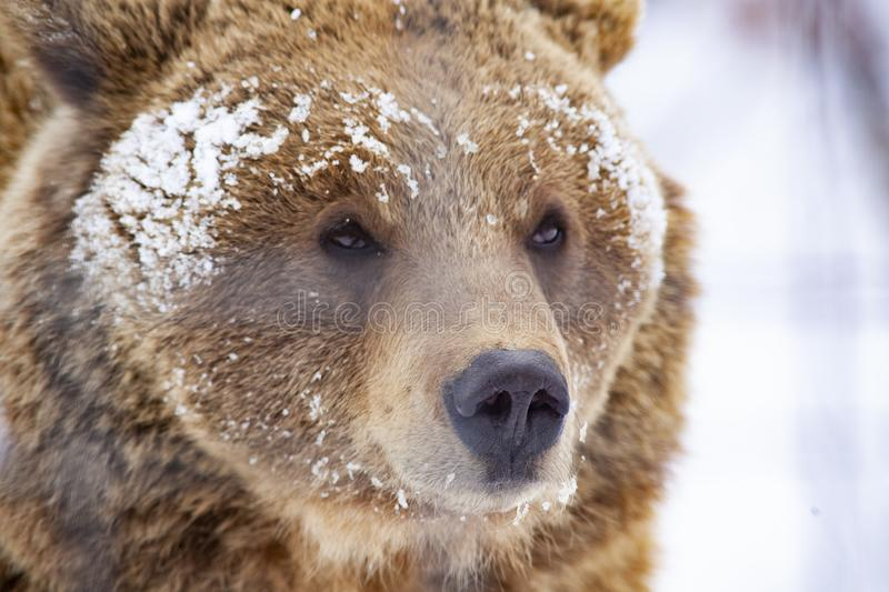 brown bear in snow royalty free stock photography