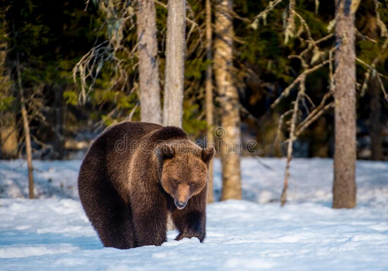 Brown bear on the snow in winter forest. stock image