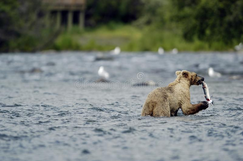 Brown bear standing in Brooks River stock images